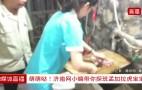 直播:济南动物园百兽之王孟加拉虎百日 美女探访超级帅完美萌宝