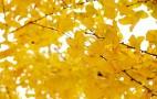 济南的初冬:百花落尽处 树叶碎金流