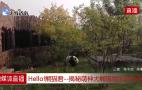 视频回放 Hello!熊猫君——揭秘萌神大熊猫的生活日常