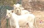 欢欢喜喜过大年: 济南野生动物世界迎来旅游小高峰