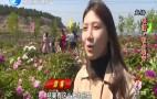 长清区:二十多亩牡丹竞相开放