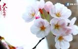 【大美历下】不一般的历下之春绿——樱花大道