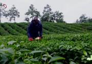 茶业进化论 中英文