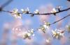 济南:阳春三月 看一树花开