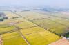 黃河大米上央視!濟南吳家堡三千多畝水稻喜獲豐收