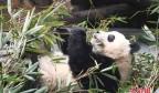 """成都大熊猫繁育研究基地回应网传""""虐待大熊猫""""事件"""