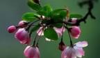 海棠花开,3月31日让我们相约平阴