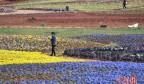 初春昆明鲜花盛开 游客徜徉花丛