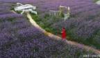 中国乐虎国际手机版,有一座长江以北最大的薰衣草庄园