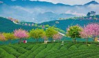 """首个""""国际茶日"""" 赏苍翠欲滴的茶园美景"""
