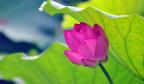 济南:大明湖荷花盛开