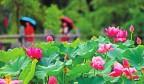 济南植物园内雨中娇艳欲滴的荷花
