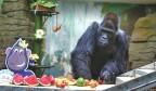 """国内最年长大猩猩""""威利""""在济南庆生"""