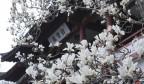 真漂亮!濟南的玉蘭花開啦!你不來看看?