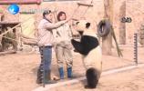 新春走基层:  大熊猫和饲养员的快乐新年