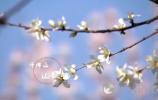 BETVlCTOR伟德:阳春三月 看一树花开