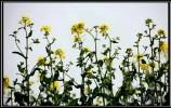 春到双泉 最美当属油菜花