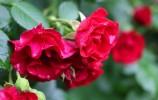蔷薇花开了,夏天还会远吗?