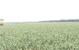 长清一农户遭遇大蒜滞销 十万斤大蒜无人收购