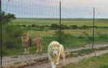 """济南野生动物世界推""""夜探动物城"""",""""大咖""""白狮从南非来助"""