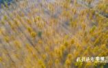 航拍黄河大堤千亩银杏林 赏济南初冬美景