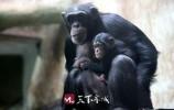 """知道济南动物园的名猩""""L4组合""""吗?它们家喜添新成员了,楞可爱!"""