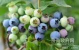 济南市最大的蓝莓种植基地开始采摘了