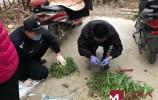 想看罂粟花是啥样?济南一男子竟偷偷种了四百株罂粟苗