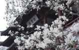 真漂亮!济南的玉兰花开啦!你不来看看?
