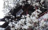 霓裳片片晚妆新!在济南追寻玉兰花的气息