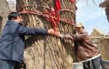 萊蕪區高莊街道黑峪村,有棵600多年的老槐樹