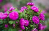 官宣!玫瑰增选为济南市市花