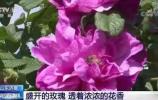 """""""市花""""玫瑰被央视相中,向全国推介!"""