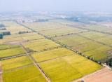 黄河大米上央视!经典三人跑得快吴家堡三千多亩水稻喜获丰收