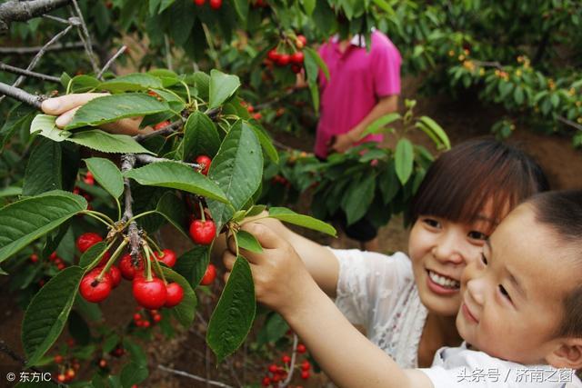 章丘龙山300亩春园樱桃熟了