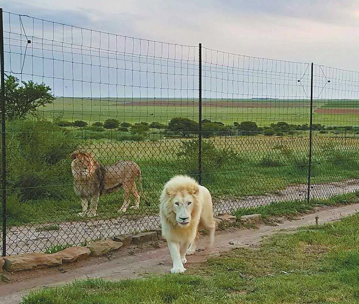 """济南野生动物世界推""""夜探动物城"""",""""大咖""""白狮从南非来"""