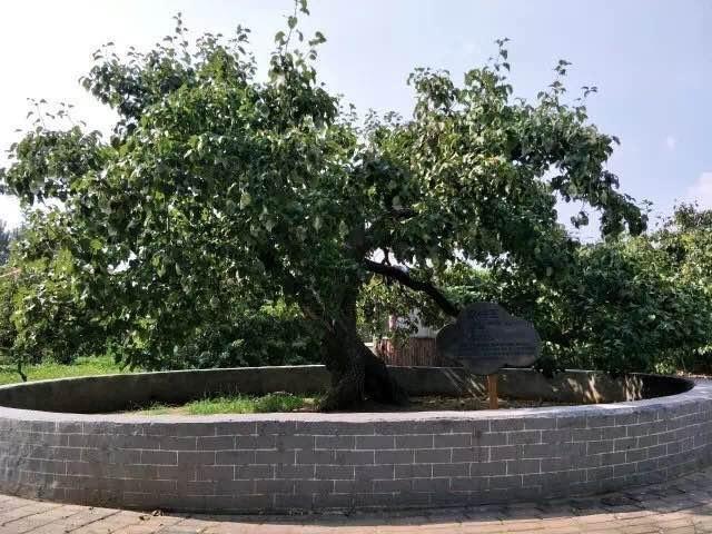 百年梨树.jpg