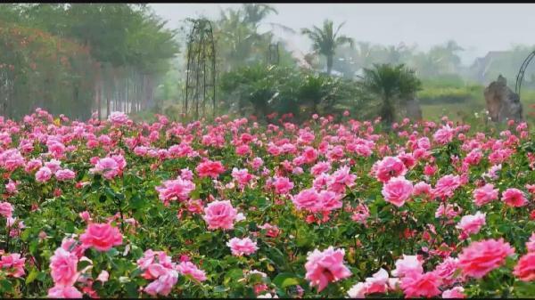 玫瑰节12