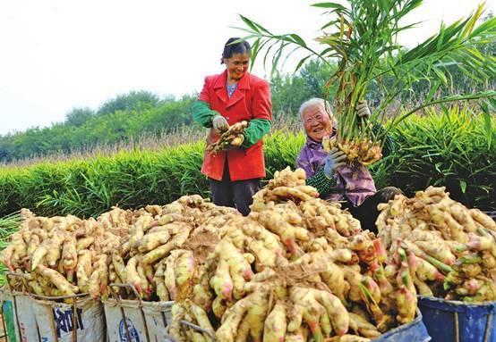 濟南(萊蕪)生姜文化節將開幕 生姜主題屬全國唯一