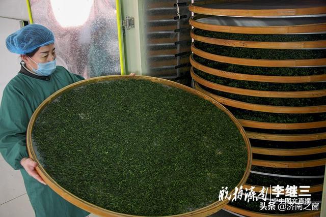 第一锅中国纬度最高的茶叶 今天在山东长清出炉