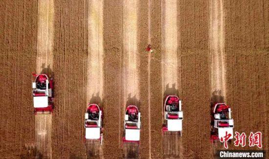 山东是中国粮食生产、流通、加工和转化大省。当前,该省麦收工作已全面展开。图为自动驾驶的联合收割机作业场景。(资料图) 沙见浩 摄