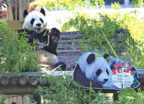 动物园大熊猫过生日水果花篮蛋糕来庆生