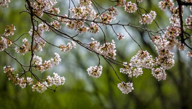春日赏花哪里去?济南最全赏花攻略出炉 济南观赏鱼 济南龙鱼第3张