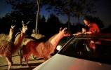 """济野""""夜探动物城""""即将上线 与千余只野生动物同眠"""
